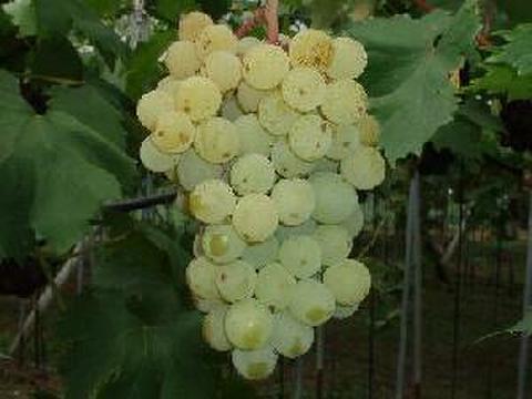 早生ネオマス 約1.5kg 葡萄 (栽培開始以来、化学肥料不使用、除草剤不使用、化学農薬削減 当地比5割削減) 岐阜県産