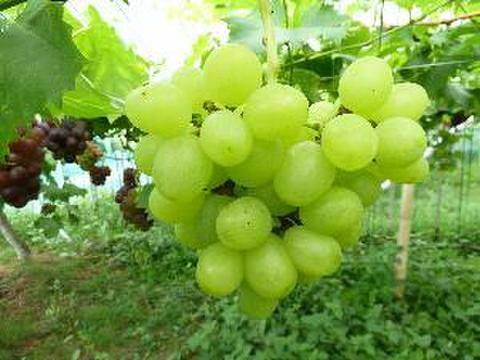 天山 約1kg 葡萄 (栽培開始以来、化学肥料不使用、除草剤不使用、化学農薬削減 当地比5割削減) 岐阜県産