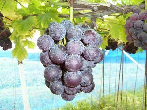 高妻 約1.5kg 葡萄 (栽培開始以来、化学肥料不使用、除草剤不使用、化学農薬削減 当地比5割削減) 岐阜県産